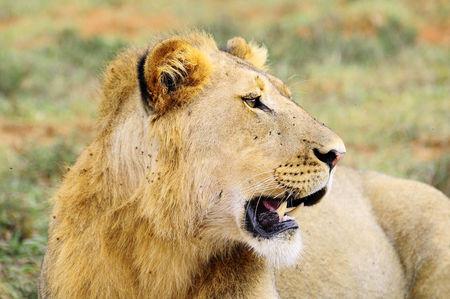 Lion__parc_d_Addo__Afrique_du_Sud__9_