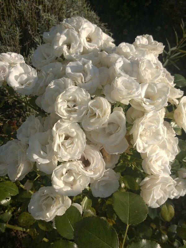 Aspirine rose3