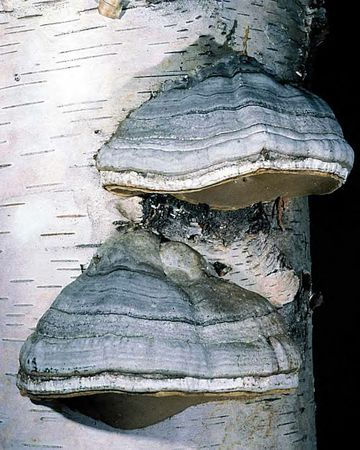 Polypore_amadouvier3