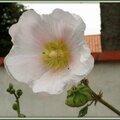 Rose trémière 1607152