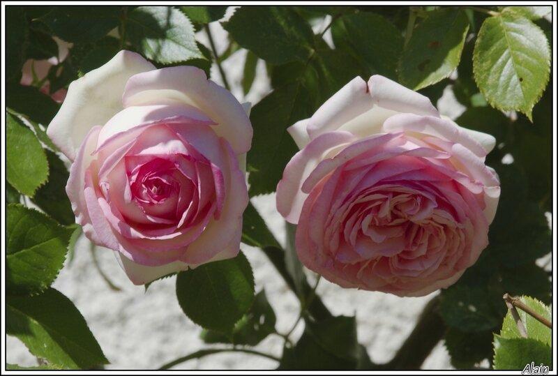 roses...essayant de tenir leur rang de reines des fleurs, malgré la chaleur du soleil