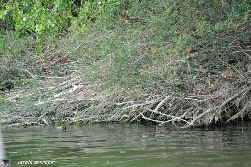 Habitat de castors sur la Loire