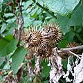 Grande Bardane (Arctium lappa), fruits.