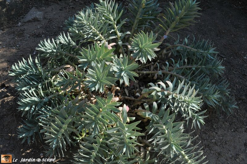Euphorbe • Euphorbia rigida
