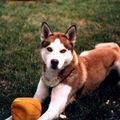 Laine de poil de chien husky croisé malamute