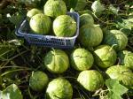 28-pastèque citre (3)