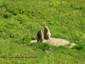 Marmotte (4)