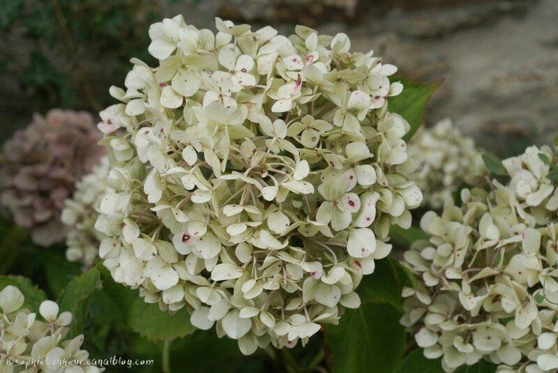 sept hortensia blanc