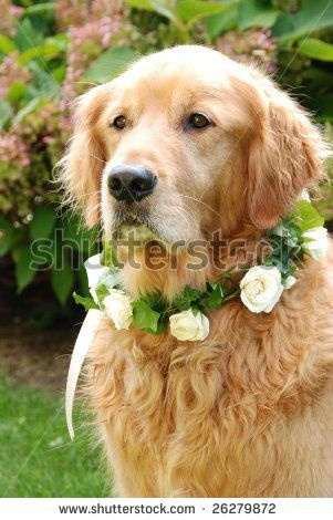stock-photo-dog-wearing-flower-necklace-at-wedding-26279872