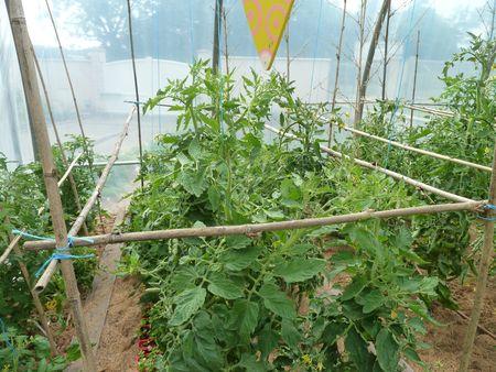 8-tuteurage tomates (3)