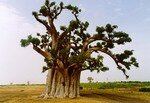 baobab3