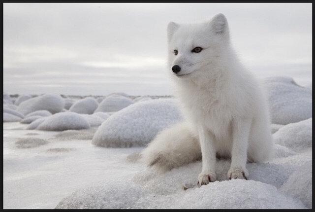 renard arctique 1