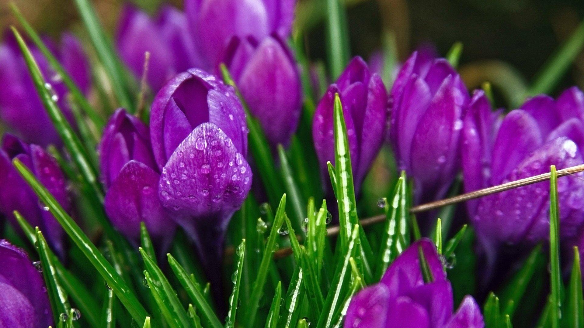 beautiful-spring-flowers-beautiful-flowers-purple-spring