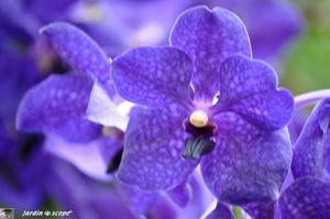 Orchidee_14