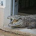 9 crocodile