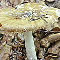 Amanita pantherina (2)