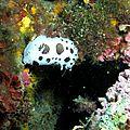 Doris dalmatien_Peltodoris atromaculata__Banyuls_XRu_2
