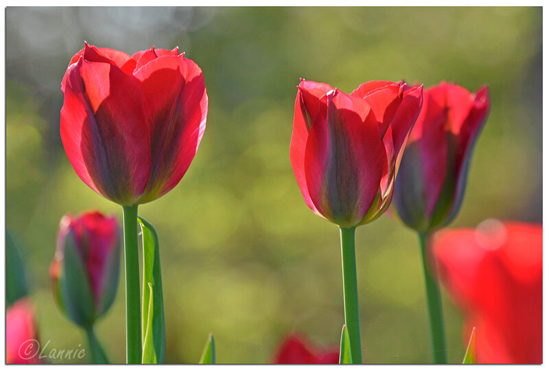 Parc_floral_tulipe_Viridiflora_red_spring_green_1
