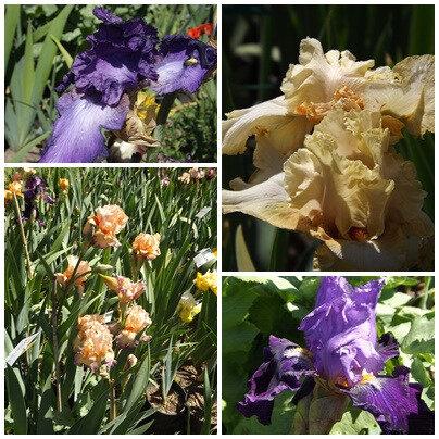 Iris du B 2 (13)