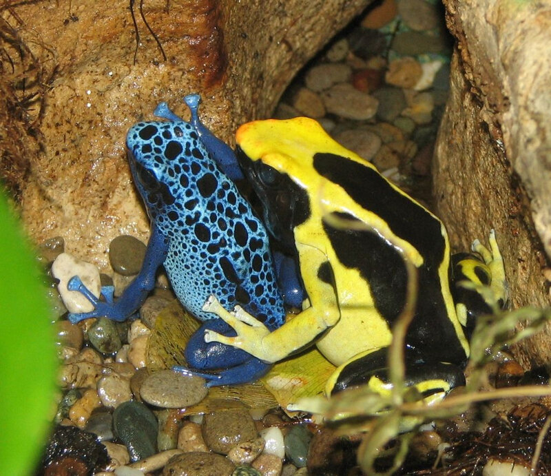 1024px-Poison_Dart_Frogs
