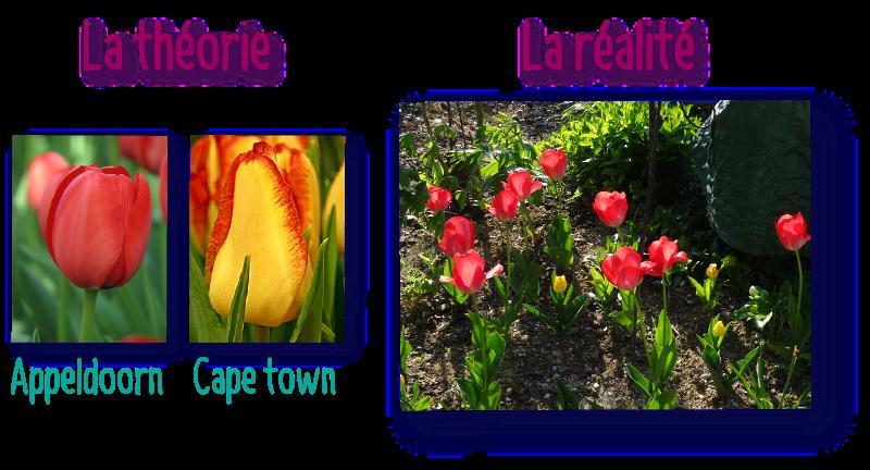 tulipes appeldoorn et cape town