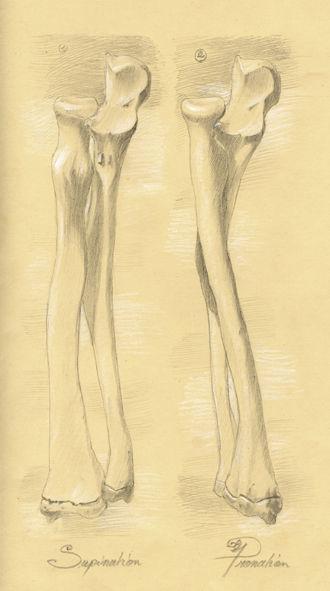 Pronation et Supination