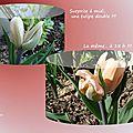 tulipes 2015_03_28