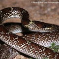 Lycodon capucinus2_Khao Yai_XRu