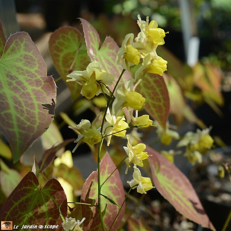 Epimedium-x-versicolor-sulphureum