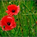 1 blog coquelicot duo
