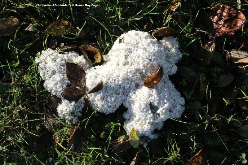 Fleur de tan cendrée - Fuligo cinerea