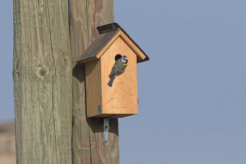 Oiseau mésange bleue nichoir 3 300321