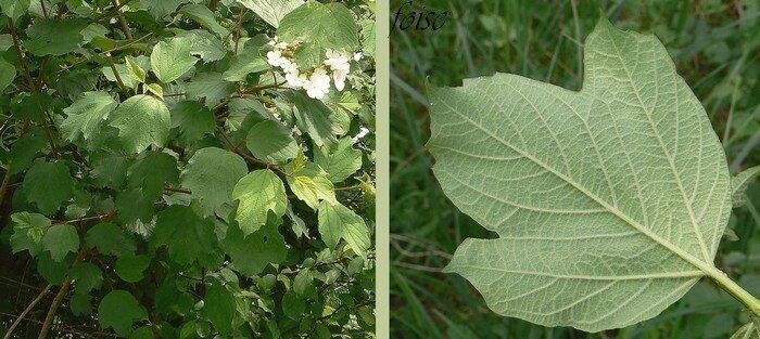 feuilles caduques opposées pétiolées 3-5 lobes pubescentes en dessous