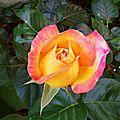 Rose 2105164