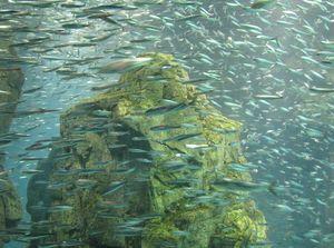 des_milliers_de_poissons