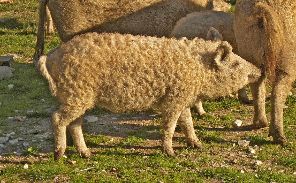 ... et ceci n'est pas un mouton — P1010738