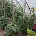 2009 06 16 Mes tomates sous serre