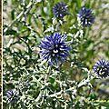Oursin bleu (astéracées)