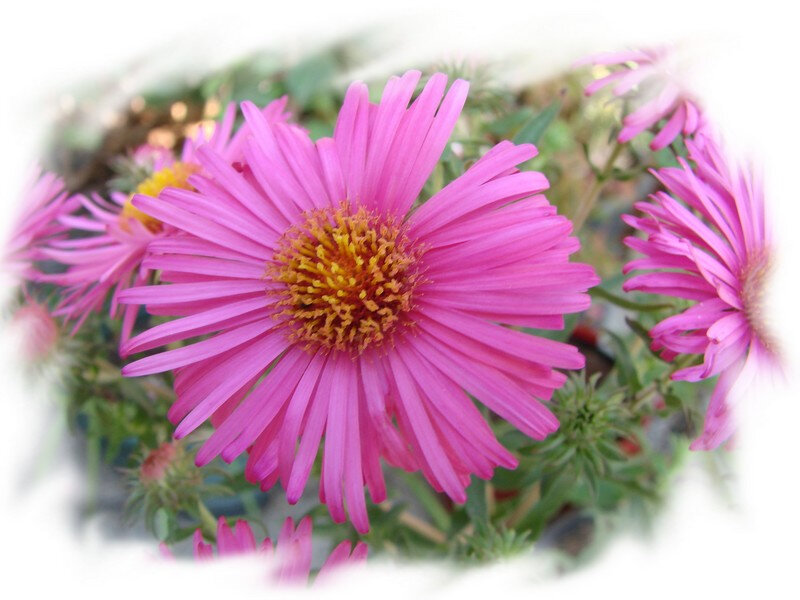 aster 4