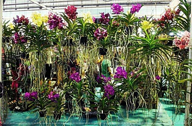 ORCHIDEES TOUT PLEIN RZIURIZ