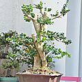 Un gros buis du nord - buxus sempervirens rotundifolia