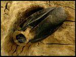 Blaberus craniifer Black Wings