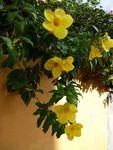 ti_fleur_jaune