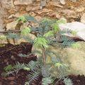 Pinus Wollemia 'Nobilis'