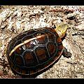 Cistoclemmys flavomarginata flavomarginata (8) (Copier)