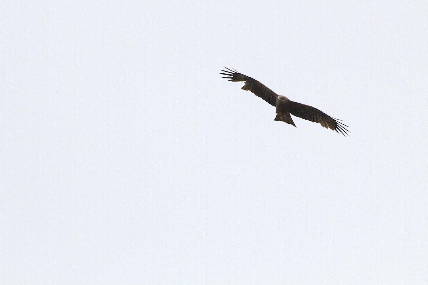 Milan noir (Milvus migrans)