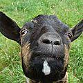 Caresser une chèvre naine à grand coude à l'île de la réunion
