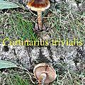 Cortinarius trivialis