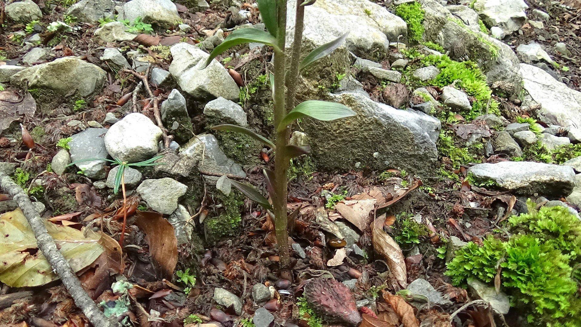 épipactis à petites feuilles