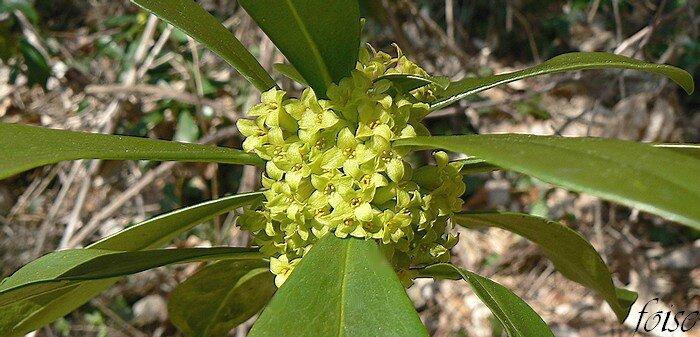 fleurs en bouquets axillaires denses